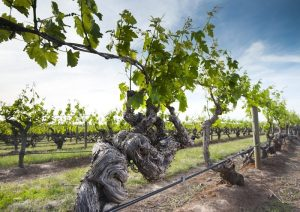 old-vines-south-australia-wine-story-adelaide-review-800x567
